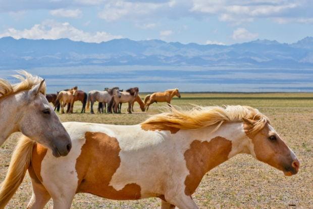 Horses in the Gobi Desert in Mongolia. Courtesy Indagare.
