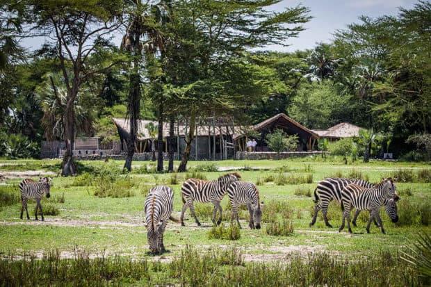 Zebras in front of Chem Chem. Photo by Scott Ramsay courtesy Classic Portfolio