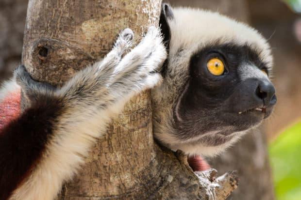 A lemur on a tree