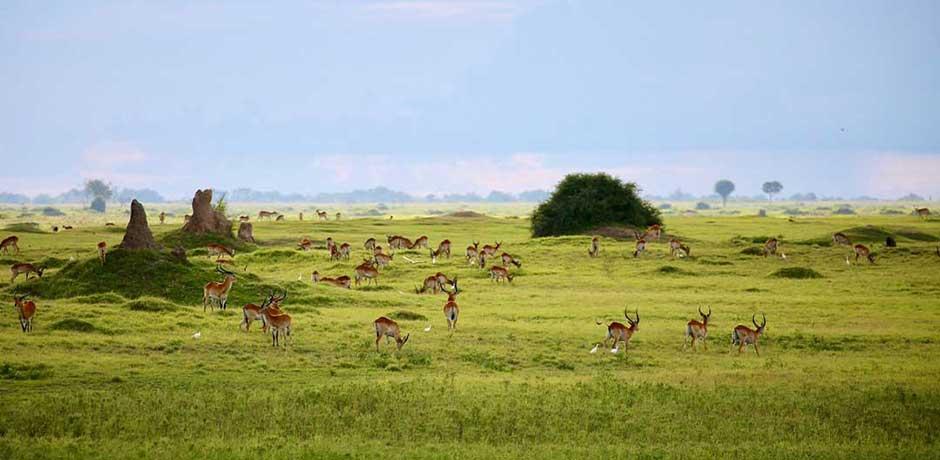 Antelopes in Botswana, Courtesy Rose Allen
