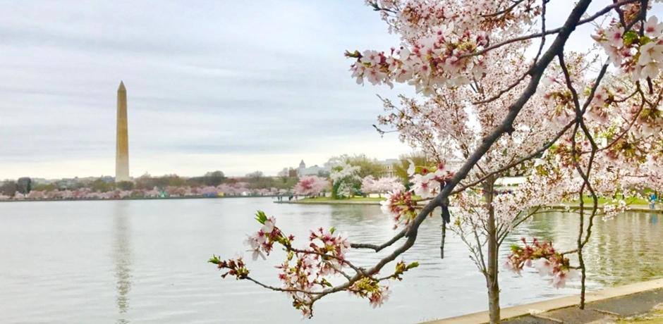 Cherry Blossom Season in Washington, D.C. Photo by Elizabeth Harvey