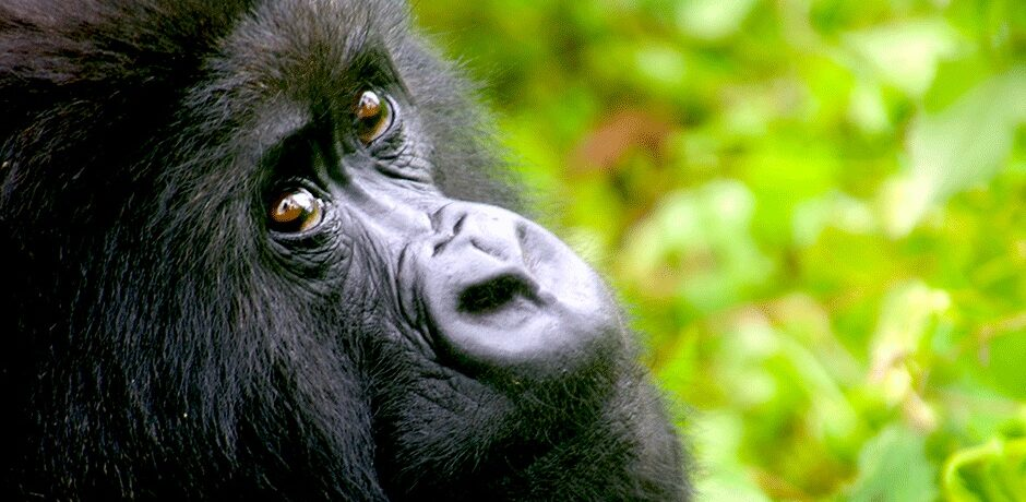 An endangered mountain gorilla in Rwanda's Volcanoes National Park. Courtesy Diana Li