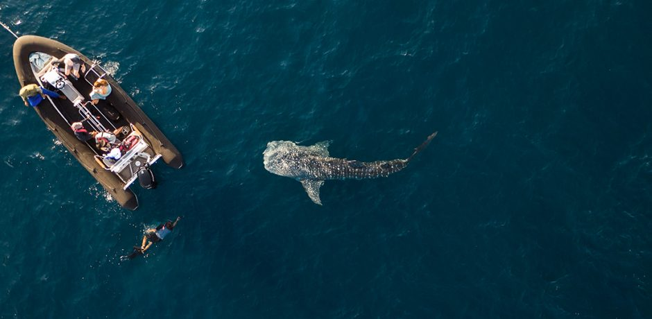 Encounters with whale sharks in Indonesia. Courtesy Aqua Expeditions