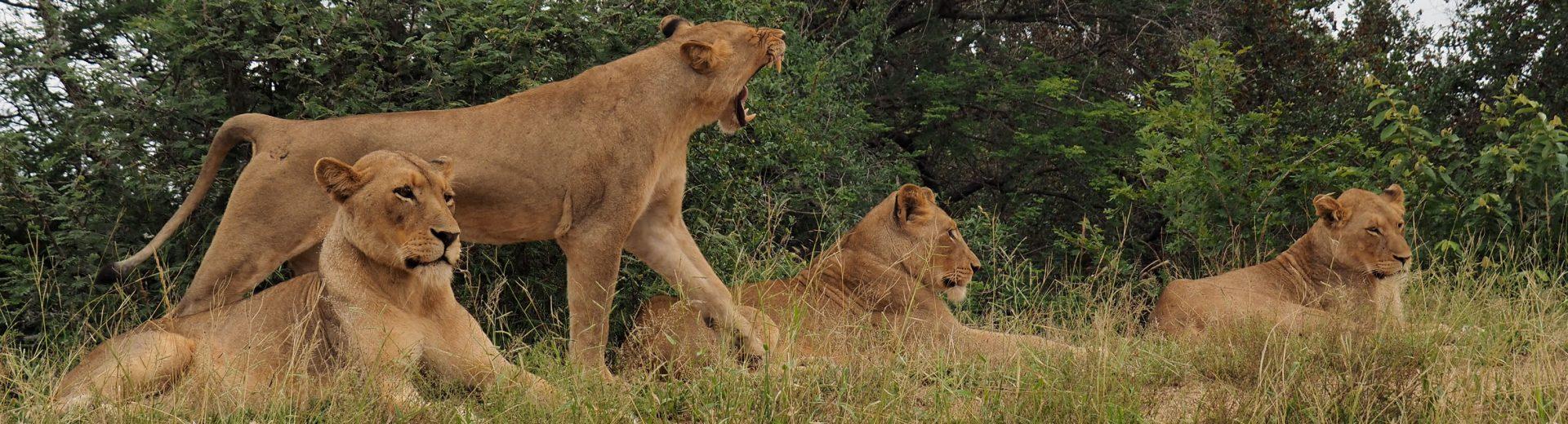 family of lions in kruger national park
