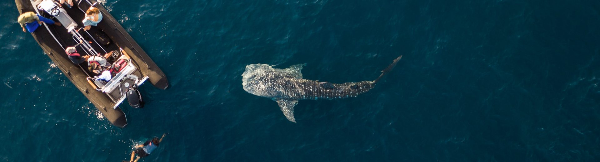 Encounters with whale sharks in Indonesia.