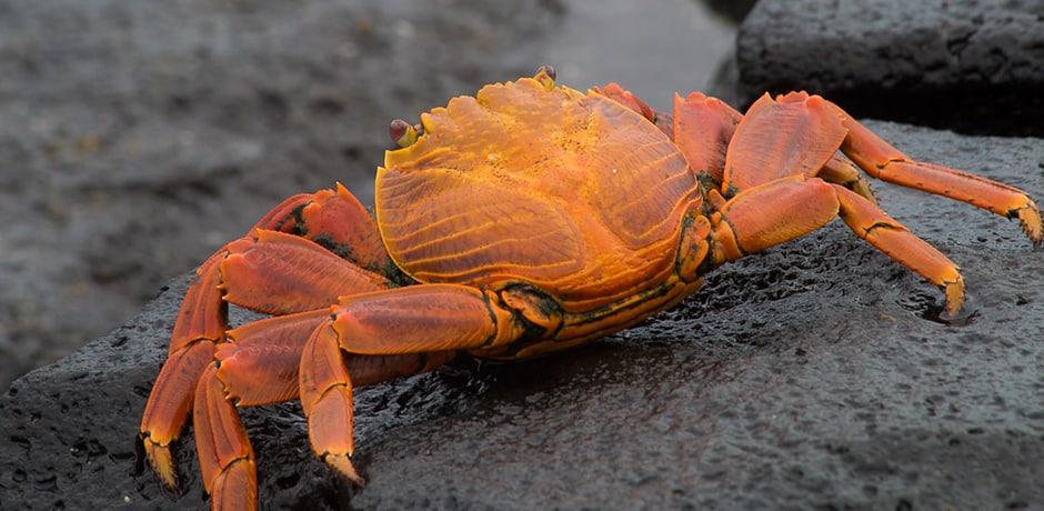 A Sally Lightfoot Crab crawls across the lava flows of Santiago Island.