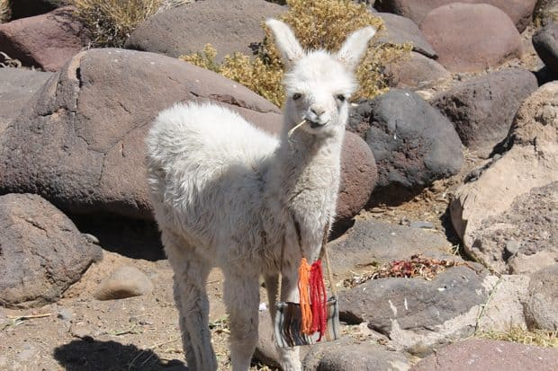 A white llama stands among rocks in Bolivia