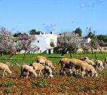 ibiza spain sheep