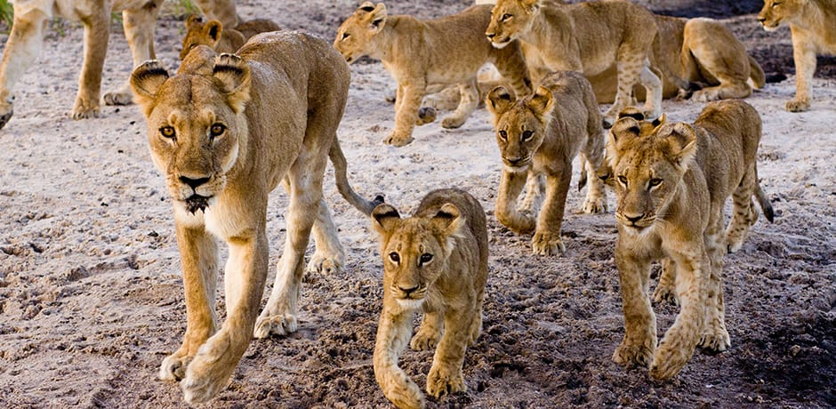 A pride of lions in Chitabe