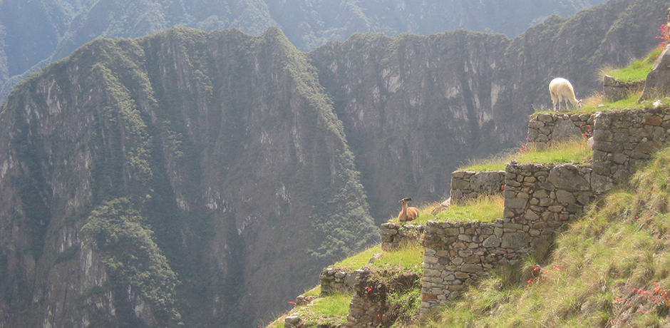 Tourists are not the only ones who enjoy visiting Machu Picchu—llamas and alpacas often take advantage of its sunny terraces.