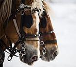 quebec city canada horses