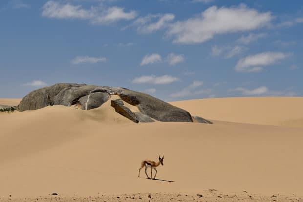 A springbok on the Skeleton Coast