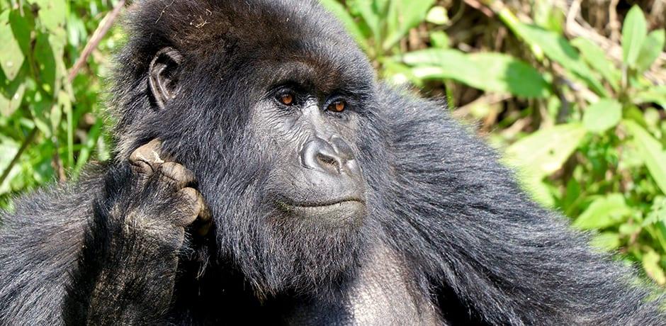 A male gorilla in Rwanda. Courtesy Indagare member Simone Mailman