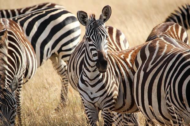 Classic Tanzania Safari